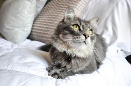 Langes Katzenhaar, Pflege aber auch Pflicht
