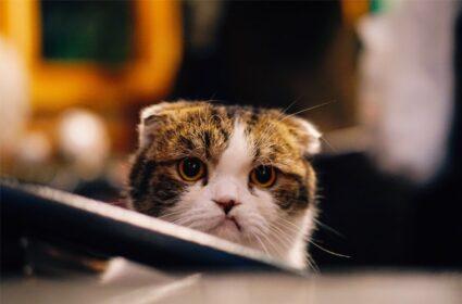 Nowy kot w domu – jak zapoznać ze sobą koty